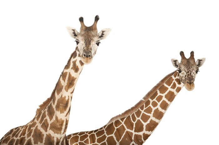 A reticulated giraffe, Giraffa camelopardalis reticulata, with finer white lines in pattern, and a Rothschild giraffe, Giraffa camelopardalis rothschildi, at Rolling Hills Wildlife Adventure near Salina, Kansas.