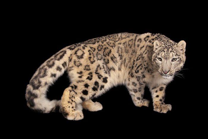 An endangered snow leopard, Panthera uncia.Miller Park Zoo