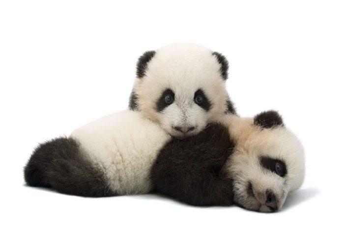 Mei Lun and Mei Huan, twin giant panda cubs, Ailuropoda melanoleuca, at Zoo Atlanta.