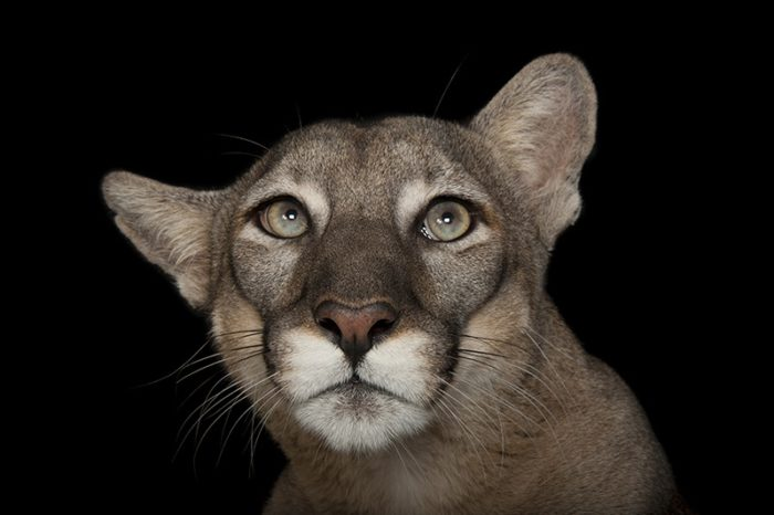 A federally endangered Florida panther, Puma concolor coryi, at Tampa's Lowry Park Zoo.